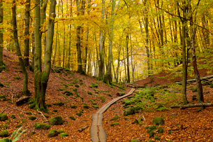 Sweden, Skane, Soderasen, Wooden overpass through national park in autumnの写真素材 [FYI02856362]