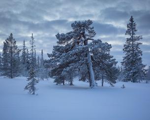 Trees during winter in Fulufjallet National Park, Swedenの写真素材 [FYI02856434]