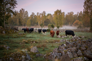 Cows on paddock in Krkshult, Swedenの写真素材 [FYI02856439]