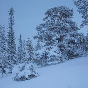 Trees during winter in Fulufjallet National Park, Swedenの写真素材 [FYI02856636]