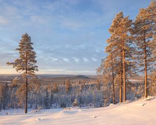 Trees at sunrise during winter in Fulufjallet National Park, Swedenの写真素材 [FYI02856641]