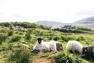 Sheep sitting in field on Isle of Skye, Scotlandの写真素材 [FYI02856687]