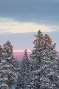 Trees at sunrise during winter in Fulufjallet National Park, Swedenの写真素材 [FYI02856829]