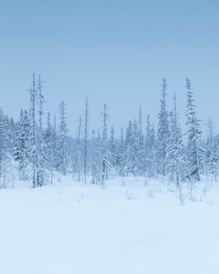 Trees during winter in Fulufjallet National Park, Swedenの写真素材 [FYI02856830]