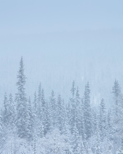 Trees during winter in Fulufjallet National Park, Swedenの写真素材 [FYI02856878]