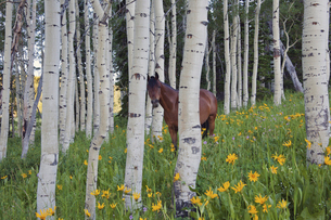 Horse in a field of wildflowers and aspen trees. Utah, USAの写真素材 [FYI02857191]