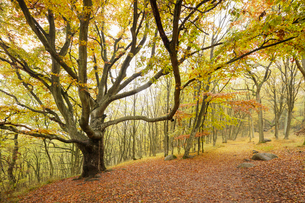 Sweden, Skane, Stenshuvud National Park, Autumn forest with yellow leavesの写真素材 [FYI02857220]