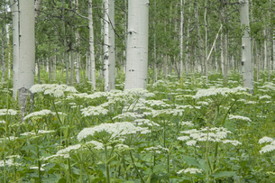 A grove of quivering aspen trees, and cow parsleyの写真素材 [FYI02857238]