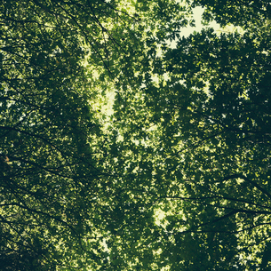 The tree canopy of big maple trees with lush green leavesの写真素材 [FYI02857294]