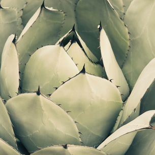 An agave cactus plant with large grey green leaves.の写真素材 [FYI02857350]