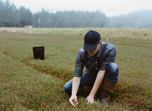 A cranberry farm. A young man harvesting the crop.の写真素材 [FYI02857578]
