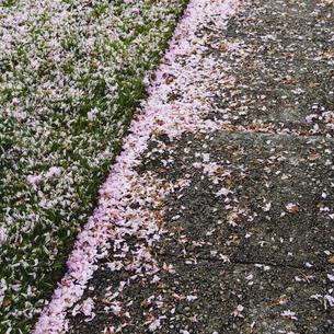 Pink fallen cherry blossom petals blown across sidewalkの写真素材 [FYI02857582]