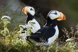 Horned puffins, Lake Clark National Park, Alaska, USAの写真素材 [FYI02857596]