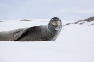 Leopard seal, Antarcticaの写真素材 [FYI02857608]