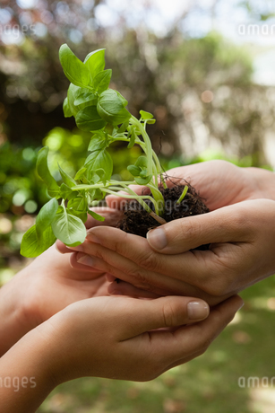 Cropped cupped hands of mother giving seedling to daughterの写真素材 [FYI02857639]