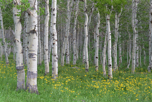 Grove of aspen trees, with white bark and green leavesの写真素材 [FYI02857663]