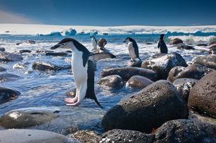 Chinstrap penguins, Penguin Island, Antarcticaの写真素材 [FYI02857664]