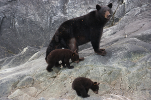 Black bear and cubs, Glacier National Park and Preserveの写真素材 [FYI02857679]