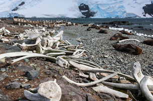 Whales bones strewn on the beach, and fur seals on the shore.の写真素材 [FYI02857691]
