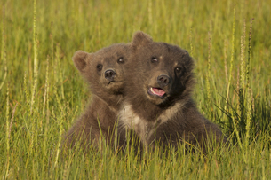Brown bear cubs, Lake Clark National Park, Alaska, USAの写真素材 [FYI02857750]