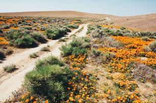 A naturalised crop of the vivid orange flowers, the California poppy, Eschscholzia californica, flowの写真素材 [FYI02857757]