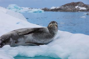 Leopard seal, Antarcticaの写真素材 [FYI02857806]