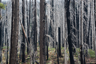 Charred tree trunks in the Willamette national forest after a fire.の写真素材 [FYI02857807]