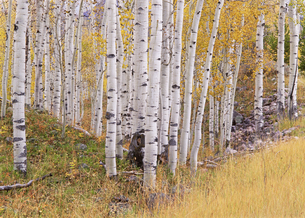 Aspen trees in autumn with white bark and yellow leaves.の写真素材 [FYI02857809]