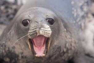Weddell seal pup, Antarcticaの写真素材 [FYI02857851]