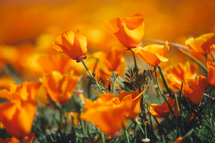 A naturalised crop of the vivid orange flowers, the California poppy, Eschscholzia californica, flowの写真素材 [FYI02857905]