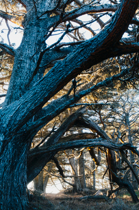 A large mature Monterey Cypress tree at dusk in Point Lobos State Reserve.の写真素材 [FYI02857984]