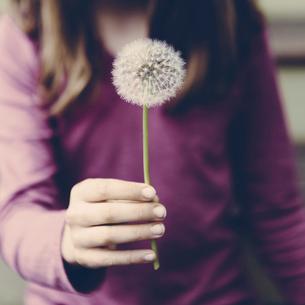 A ten year old girl holding a dandelion clock seedheadの写真素材 [FYI02858001]