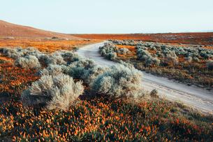 A naturalised crop of the vivid orange flowers, the California poppy, Eschscholzia californica, flowの写真素材 [FYI02858041]