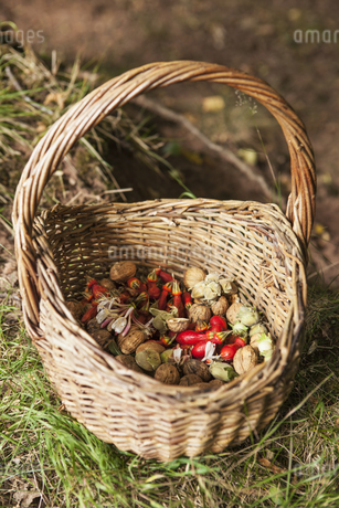 Basket with foraged food, rosehips, fruits and cobnuts.の写真素材 [FYI02858112]