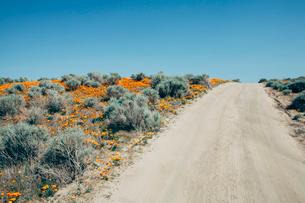 A naturalised crop of the vivid orange flowers, the California poppy, Eschscholzia californica, flowの写真素材 [FYI02858124]