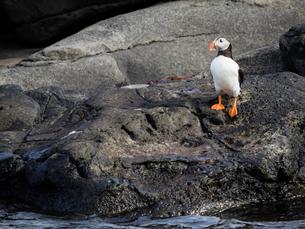 Atlantic Puffin bird on rocks of Akurey islandの写真素材 [FYI02858125]