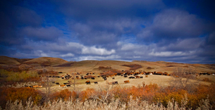 A large herd of cattle on open grassland. Roundup.の写真素材 [FYI02858153]