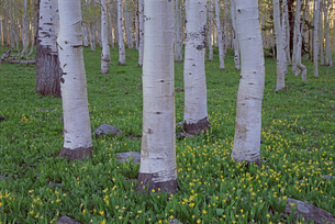 Grove of aspen trees, with white bark and green leavesの写真素材 [FYI02858182]