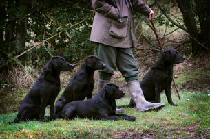 A man holding a beater's stick with four black labrador gundogs, out on a shoot.の写真素材 [FYI02858199]