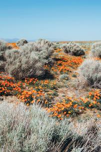 A naturalised crop of the vivid orange flowers, the California poppy, Eschscholzia californica, flowの写真素材 [FYI02858215]