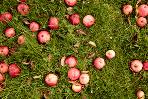 Cider apples on the grass in an orchard.の写真素材 [FYI02858282]