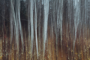 An aspen forest in autumn.  Thin white tree trunks of the quaking aspen in low light with autumnal uの写真素材 [FYI02858336]