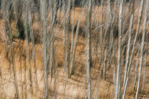 Aspen trees with pale tree trunks in woodland. Blurred motion.の写真素材 [FYI02858357]