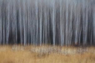 An aspen forest in autumn.  Thin white tree trunks of the quaking aspen in low light with autumnal uの写真素材 [FYI02858389]