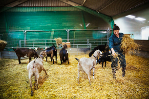 Woman in a stable with a small herd of goats, scattering straw on the floor.の写真素材 [FYI02858391]