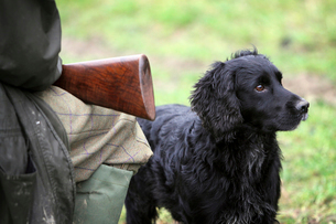 A pheasant shoot.  An alert black trained gundog, a retriever beside a man seated with a gun on hisの写真素材 [FYI02858418]