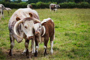 English Longhorn cattle with calf in a pastureの写真素材 [FYI02858439]