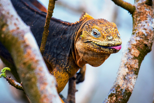 Galapagos land iguana, an iguana with a bright orange skin and black body, in a tree.の写真素材 [FYI02858443]