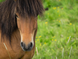 An Icelandic bay horse with long mane and forelock.の写真素材 [FYI02858476]