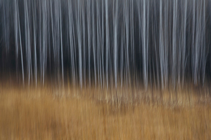 An aspen forest in autumn.  Thin white tree trunks of the quaking aspen in low light with autumnal uの写真素材 [FYI02858489]